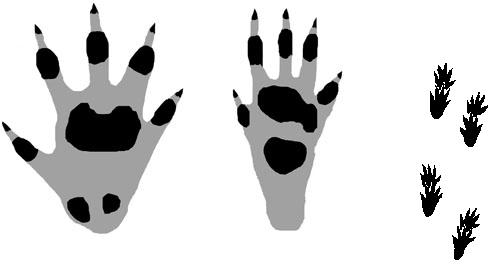 hedgehog-tracks1