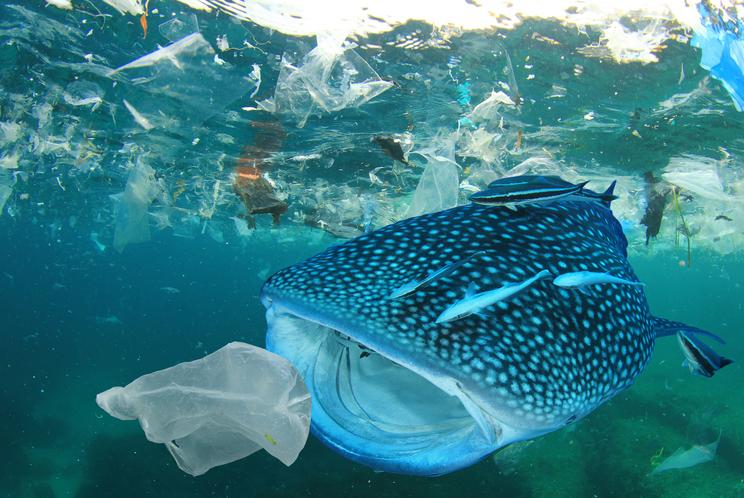 Een vis zwemt met open mond naar een plastic zak.